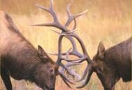 Wild Venison Image